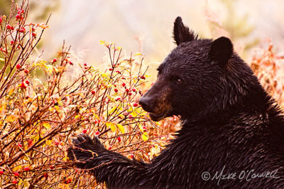 Black Bear and Rose Hips