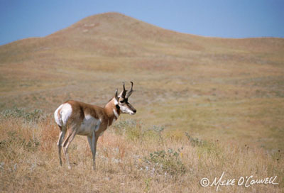 Black Hills Pronghorn