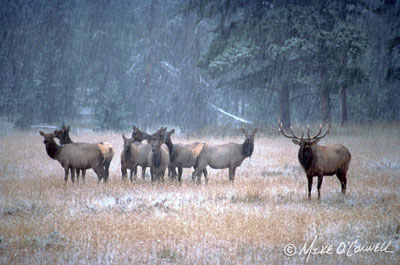 Bugling Bull Elk and Harem