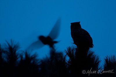 Owls at Twilight