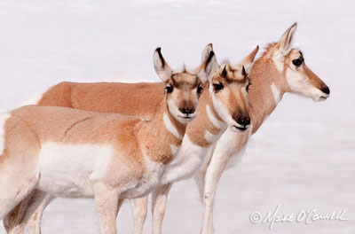 Portrait of Three Pronghorns